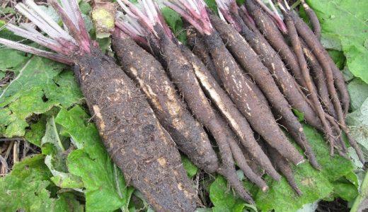 大浦ごぼうの特徴・旬の時期まとめ|千葉で栽培される巨大な短根種ごぼう
