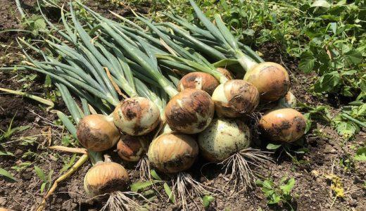 ネオアースの特徴・旬の時期まとめ 色ツヤよく貯蔵性に優れた黄玉ねぎ