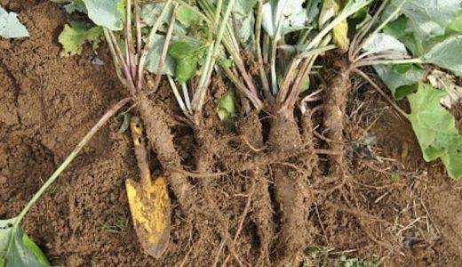 サラダむすめの特徴・旬の時期まとめ|サラダによく合う短根種ごぼう