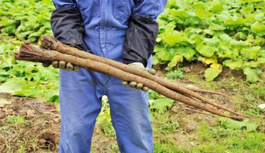 常盤ゴボウの特徴・旬の時期まとめ|長さと食感と香りが際立つ長根種ごぼう