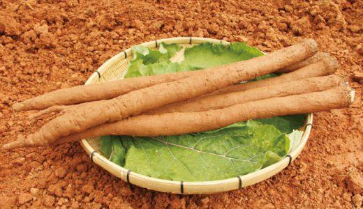 明治ごぼうの特徴・旬の時期まとめ|岡山県の粘土質土壌で作られる短根種ごぼう