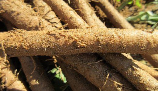 宇陀金ごぼうの特徴・旬の時期まとめ|奈良県の特産品である短根種ごぼう