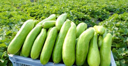 瓜の人気品種ランキング15種類を解説!九州・沖縄・本州産でおすすめはどれ?