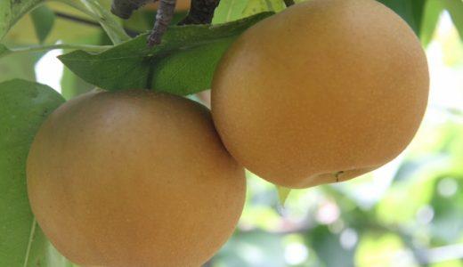 【2020年】日本梨の生産量ランキング!日本ではどの県が多い?