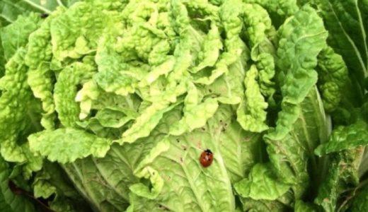 白菜に黒い虫が!虫がついた白菜・虫食いされた白菜は食べても大丈夫なの?