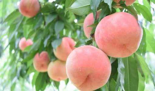 桃が腐るとどうなる?茶色く変色・水っぽい|冷蔵・常温の保存期間と保存方法は?