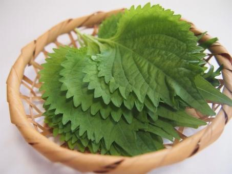 保存 しそ 大葉(シソ/紫蘇)を大量に保存する① ~収穫して早く乾燥させる方法