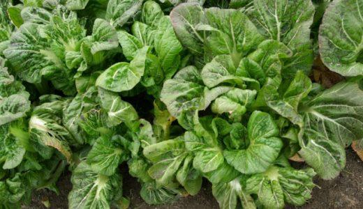 高菜の部位を画像付きで紹介!根・茎・葉をチェック!花言葉は何?