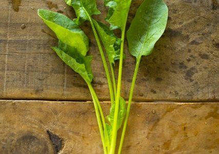 サラダほうれんそうの特徴・旬の時期まとめ|生で食べられるアクの少ないほうれんそう