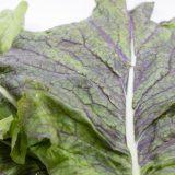 赤大葉高菜の特徴・旬の時期まとめ|大型で肉厚の紫高菜