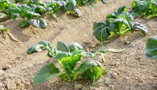 阿蘇高菜の特徴・旬の時期まとめ 熊本県阿蘇地方で栽培される青高菜