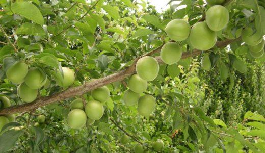 剣先の特徴・旬の時期まとめ|加工にも使いやすい中粒の梅