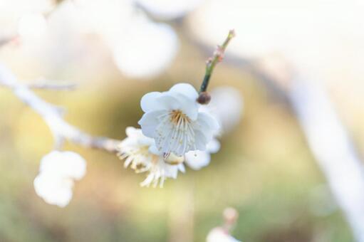 別名 の の 梅 花