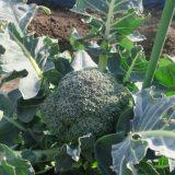 ドシコの特徴・旬の時期まとめ|緑色をした一般的なブロッコリー