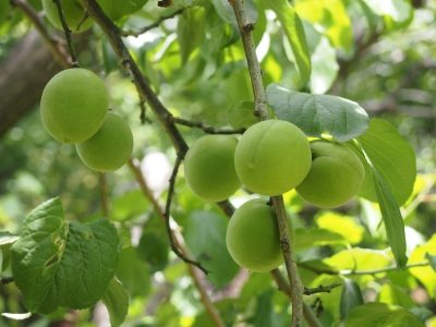 玉織姫の特徴・旬の時期まとめ 加工にも使いやすい中粒の梅