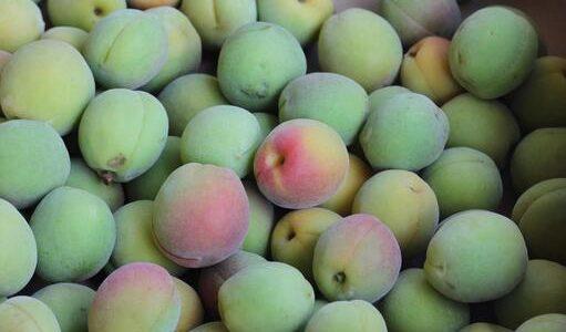 玉英の特徴・旬の時期まとめ 加工にも使いやすい中粒の梅