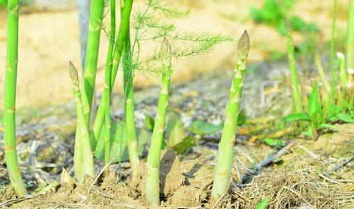 アスパラガスの部位を画像付きで紹介!2つある花言葉はどんなの?
