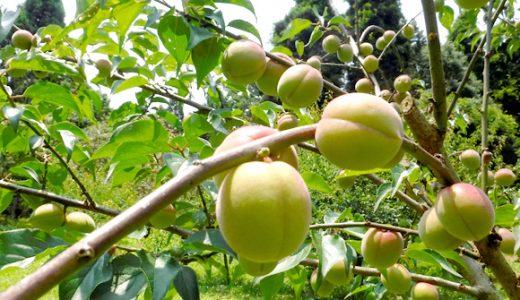 稲積の特徴・旬の時期まとめ|加工にも使いやすい中粒の梅