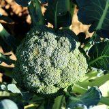エンデバーSPの特徴・旬の時期まとめ|緑色をした一般的なブロッコリー