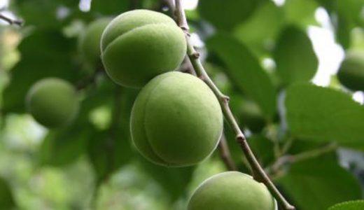 豊後の特徴・旬の時期まとめ 果肉をしっかり味わえる大粒の梅