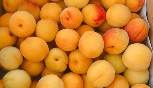 杏梅の特徴・旬の時期まとめ 加工にも使いやすい中粒の梅