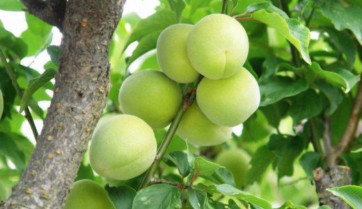 杉田の特徴・旬の時期まとめ 加工にも使いやすい中粒の梅
