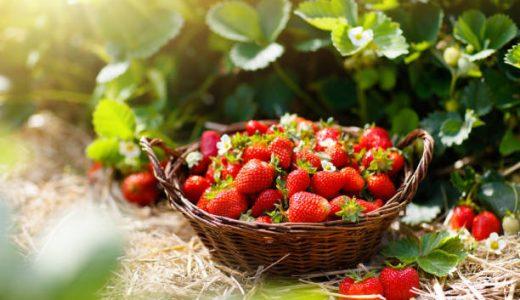 いちごを種から育てる!種まき・発芽・収穫時期は?種の取り出し方・販売も