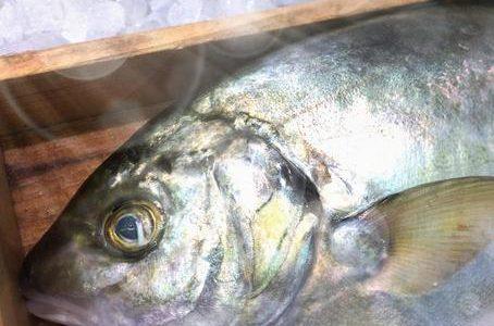 シマアジ(縞鯵)の寄生虫アニサキス・ウオノエ・カリグス!養殖なら安全?